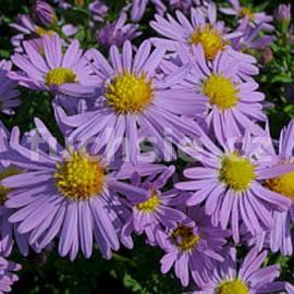 Aster podzimní (Aster Dumosus)- růžová