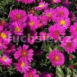 Aster podzimní (Aster Dumosus) fialová