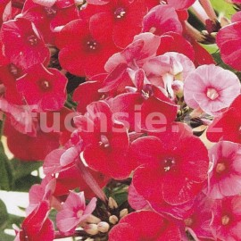 Phlox Paniculata  Bright Red