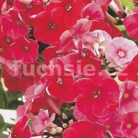 Phlox Paniculata  červený