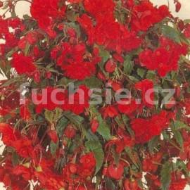 Begonia Chanson - tm. červená