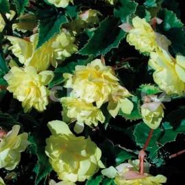 Begonia Chanson (Begonie)- žlutá