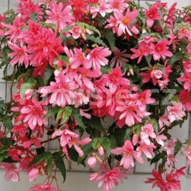 Begonia Chanson (Begonie)