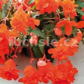 Begonia Chanson - medová