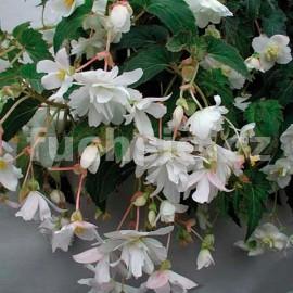 Begonia Chanson (Begonie)-bílá