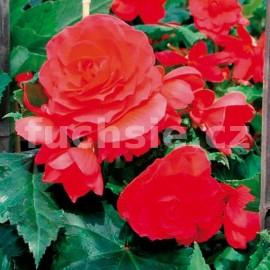 Begonie velkokvětá - jasně červená