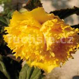 Begonie velkokvětá - žlutá