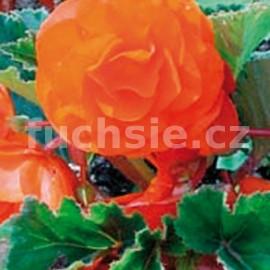 Begonie velkokvětá- oranžová
