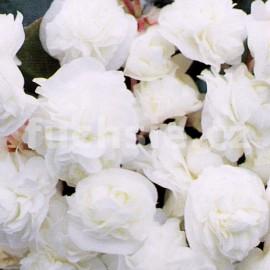 Begonia Sempransflor (Begonie - voskovka)