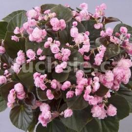 Begonia Sempransflor (Begonie) růžová