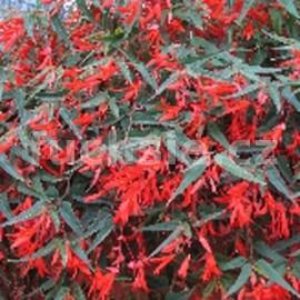 Begonia Boliviensis-oranžová (Begonie)