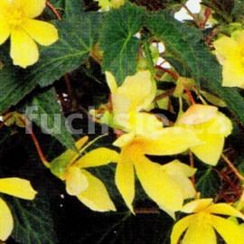Begonia boliviensis (Begonie)