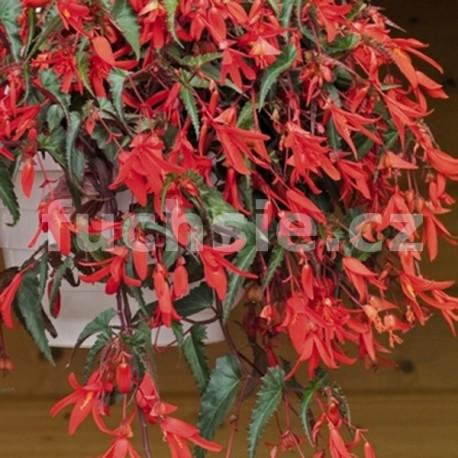 Begonia Boliviensis - červená (Begonie)
