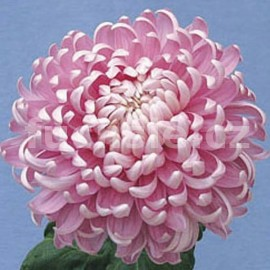 Chryzantéma Pink Lea