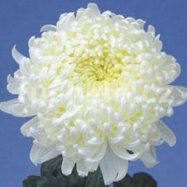 Chryzantéma Blanka