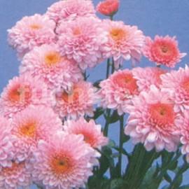 Chryzantéma Bella rosa