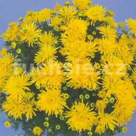 Chryzatéma Hermina Multiflora