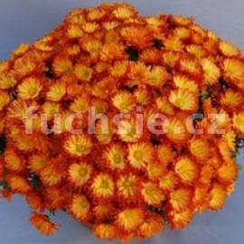 Chryzantéma Raja Multiflora