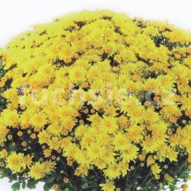 Chryzantéma Milada Multiflora