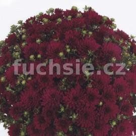 Chryzantéma Multiflora bordo