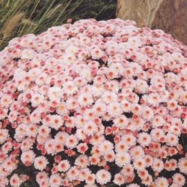 Chryzantéma Multiflora