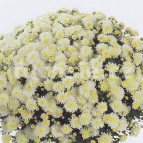 Chryzantéma Jitka Multiflora bílá