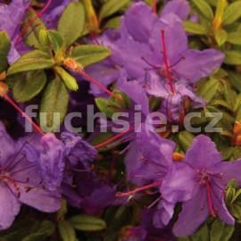 Rododendron Roland (Pěnišník)