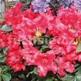 Rododendron Bengal Pěnišník (Pěnišník)