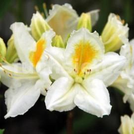 Rododendron Keiskeův zakrslý