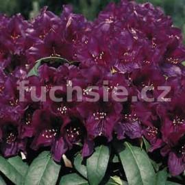 Rododendron Polarnacht Pěnišník (Pěnišník)