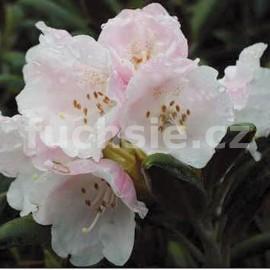 Rododendron Evelyn Pěnišník