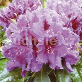 Rododendron Azurro Pěnišník ( Pěnišník)