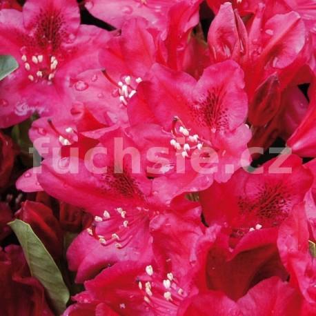 Rododendron Nova Zambla (Pěnišník)