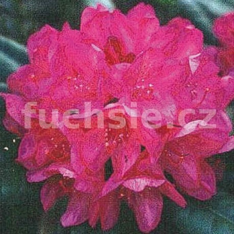 Rododendron červený zakrslý, skalkový