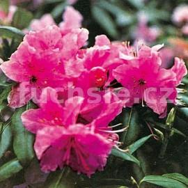 Rododendron F. P. Godman Pěnišník