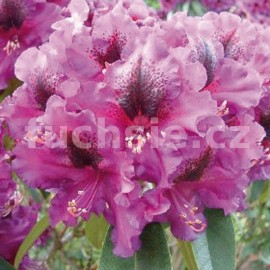 Azalka Purple Splendur