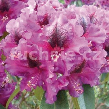 Azalka Purple Splendur