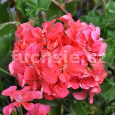 Pelergónium peltátum Apricot (Apricot muškát převislý)