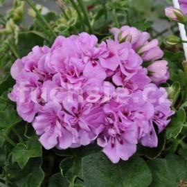 Pelargónie peltátum Lilac (Lilac muškát převislý)