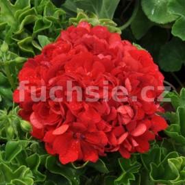 Pelargónie peltátum Ruby (Ruby  Muškát převsilý)
