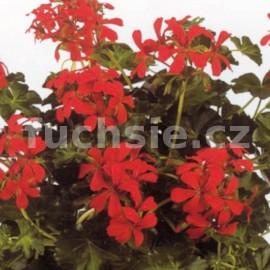 Pelargónie peltátum Decora Rot (muškát převislý-Decora Rot)