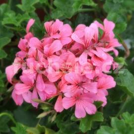 Pelargónie peltátum,Decora rosaora rosa (Muškát převislý)