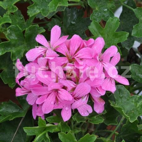 Pelargónie peltátum Decora Lila (muškát převislý Decora Lila)