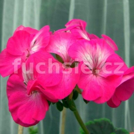 Pelaronie zonale.Flower Fairy Velvet (Muškát vzpřímený)