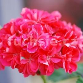 Langezan rose Pelargónie (muškát)