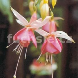 Pink Temptatiion Fuchsie (Wilson GB  1966)
