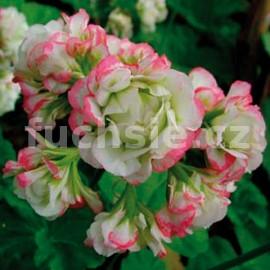 Pelargónie zonale Aplleblossom rosebau ( Muškát vzpřímený)