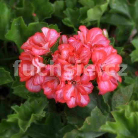 Candy rose přivislý Pelargónie