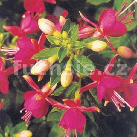 Cherry Fuchsie (Stubbs USA 1979)