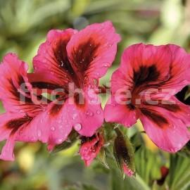 Grandifl. Růžový Pelargónie